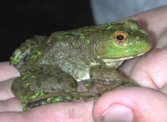 """American Bullfrogs are mainly found in North America and Canada. They are also known as """"Bullfrogs"""". The members of this species are aquatic (residents of Different Types Of Frogs, Frog Species, American Bull, Free To Use Images, Frog And Toad, Amphibians, High Quality Images, Animal Kingdom, Frogs"""