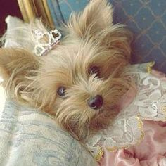 Marie Antoinette yorkie with crown i usually don't care for dressing up animals but this takes the cake. Animals And Pets, Baby Animals, Funny Animals, Cute Animals, Cute Puppies, Cute Dogs, Dogs And Puppies, Yorkies, Chien Yorkshire Terrier