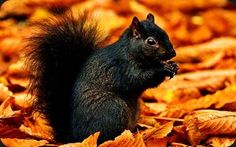 Black Squirrel!! They live in the Black Forest here in Colorado. They hop like bunnies and hiss at you too.