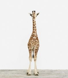 sharon montrose | baby giraffe art print