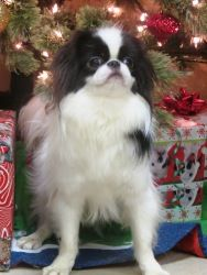 KAC Ronin is an adoptable Japanese Chin Dog in Keller, TX. Ronin is an 11 month old Japanese Chin who is looking for his furrever home! He is a precious little boy who does great with other dogs. Chin...