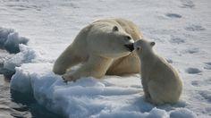roztomilý, lední medvěd, baby lední medvěd, pečování, sníh, arktický