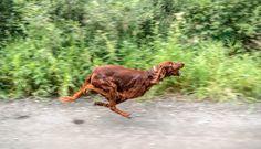 Irish Setter running from a skunk