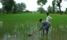 Rice is a water-intensive crop. According to supporters, rice grown using SRI uses far less water while producing a higher crop yield. Sustainable Farming, Sustainability, Agricultural Revolution, Climate Adaptation, Water Waste, Weeding, Farmers, Fun Facts, Alternative