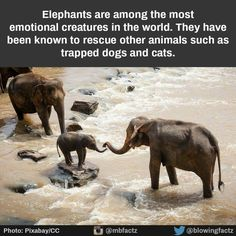 Phantastic Fact: Elephants are excellent swimmers. They swim submerged underwater using their trunks as snorkels. African elephants have been recorded swimming Tag an elephant lover below Elephant Man, Elephant Family, Asian Elephant, Little Elephant, Elephant Gifts, Elephant Images, Wild Life, Animals And Pets, Baby Animals