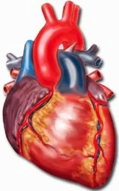 Heart beat animated realistic beating heart animation heartf more information more information the human heart ccuart Choice Image