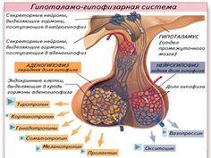 Одной из важнейших желез организма является гипофиз, который осуществляет контроль над работой большинства желез внутренней секреции. Гипофиз — небольшая, весом менее одного грамма, но очень важная для жизни железа. Она расположена в углублении в основании черепа, связана с гипоталамической областью головного мозга ножкой и состоит из трёх долей — передней (железистая, или аденогипофиз), средней или промежуточной (она развита меньше других) и задней (нейрогипофиз). По важности выполняемых в… General Surgery, Human Anatomy And Physiology, Medical Art, Central Nervous System, Workout Machines, Travel Light, Neuroscience, How To Better Yourself, Science And Nature