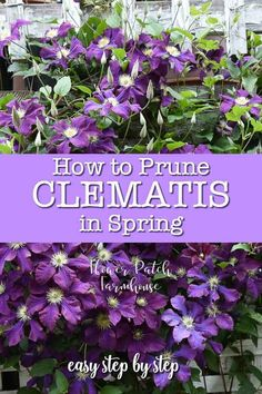 How to prune clematis in Spring. Step by step instruction to guide you through pruning your clematis in Spring. Don't lose those buds and flowers, it is easy to do when the clematis plant is just waki Flower Landscape, Garden Vines, Clematis Care, Clematis, Clematis Plants, Clematis Varieties, Plants, Clematis Flower, Clematis Trellis