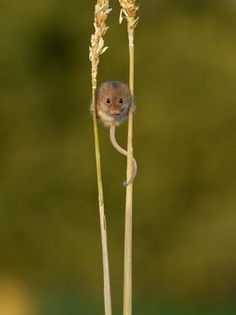 As if walking on stilts, a tiny Eurasian harvest mouse perches itself between two stalks of grass. The Eurasian harvest mouse has a prehensile tail (meaning the animal can use it to grasp things) and broad feet that allow it to climb.