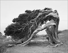 Very old windswept tree - Isla de El Hierro / Canarias 1991 Beautiful, but makes me want to cry at the same time