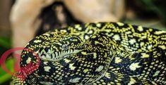 تفسير حلم الثعبان الاصفر للمتزوجه والعزباء والحامل 2 Lizard Turtle Animals