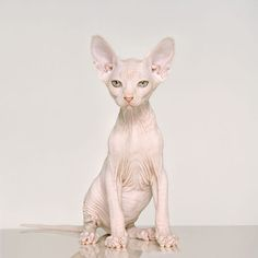 Sphinx Cat.... They may look ugly to other people but I would love to have one :)
