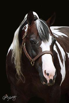 American Paint Horse stallion Commander Riminic!!