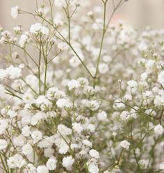 Flower Garden Learn when to plant Baby's Breath seed for weddings in our How to Grow Gypsophila Baby's Breath from Seeds instructions. Baby's Breath is easy to grow. Growing Flowers, Cut Flowers, Planting Flowers, Beautiful Flowers, Cut Flower Garden, Flower Farm, Flower Gardening, Baby's Breath Plant, Babys Breath Flowers