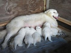 Maremma Sheepdog and pups