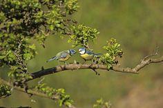 Pimpelmezen   (Van vroegevogels)