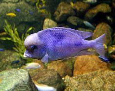 Blue Dolphin,Cyrtocara mooriiSpecies Profile, Care Instructions, Feeding and more.::Aquarium Domain.com