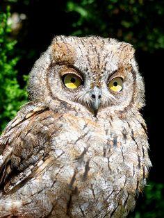 Autillo (Screech Owl)