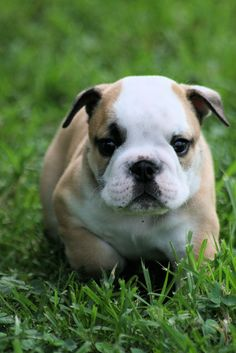 Bulldog puppies are just adorable.
