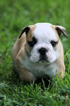 bulldog puppy.