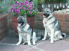 Norwegian Elkhounds Kristi & Toki