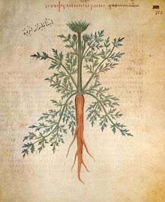 """Carrot by Dioscorides. Greek physician Pedanius Dioscorides (c. Originally written in Greek, Dioscorides's herbal was later translated into Latin as """"De Materia Medica."""" It remained the authority in medicinal plants for over 1500 years. Botanical Drawings, Botanical Prints, Historia Natural, Science Illustration, Medicinal Plants, Illuminated Manuscript, Science And Nature, Herbalism, Painting"""