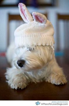 This Westie is ready for Easter! Love the bunny ears knitted hat. - AWW - - This Westie is ready for Easter! Love the bunny ears knitted hat. The post This Westie is ready for Easter! Love the bunny ears knitted hat. appeared first on Gag Dad. Animals And Pets, Baby Animals, Funny Animals, Cute Animals, Cute Puppies, Cute Dogs, Dogs And Puppies, Doggies, Chihuahua Dogs