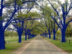 Blue painted trees in Burke-Gilman Trail in Seattle