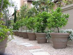 side yard / potted fruit trees - All For Garden Simple Garden Designs, Urban Garden Design, Garden Modern, Big Garden, Modern Backyard, Water Garden, Potted Fruit Trees, Citrus Trees, Potted Trees Patio