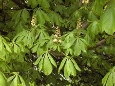 is an ornamental tree . It is used to treat complementary: , , hypertrophy , pain . Chestnut Horse, Natural Lifestyle, Varicose Veins, Trees And Shrubs, Medicinal Plants, Natural Treatments, Herbalism, Plant Leaves, Herbs