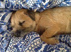 Lazy Sunday for Freddy   Border Terrier