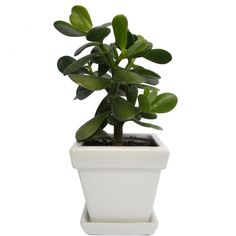 Crassula Ovata Jade Plant in a White Square Ceramic Planter Pot With... (15.095 RUB) ❤ liked on Polyvore featuring home, home decor, floral decor, filler, money tree, ceramic pots, autumn trees, ceramic flower pots and blossom tree