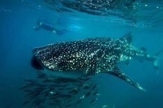 Whale Shark at Cabo Pulmo.  Great diving experiences.