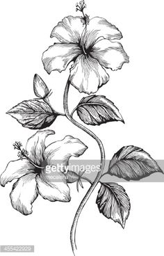 Hibiscus, Ink Style - vector drawing