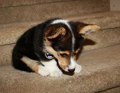 stubbiethecorgi:    'Stairs are mean'.  (Yoshi was then carried downstairs and given lots of belly rubs after the stairs won)