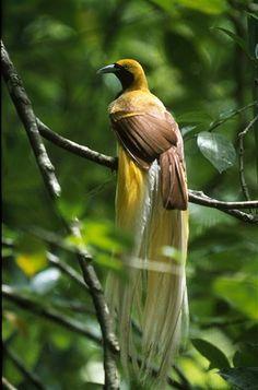 Paradisaea minor / Ave-del-paraíso Esmeralda Chica/ Lesser Bird-of-paradise / Paradisier petit-émeraude/ Kleiner Paradiesvogel