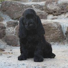 Puppy Stages, Best Puppies, English Cocker Spaniel, Spaniels, New Puppy, Dog Breeds, Labrador Retriever, Labrador Retrievers, Labrador