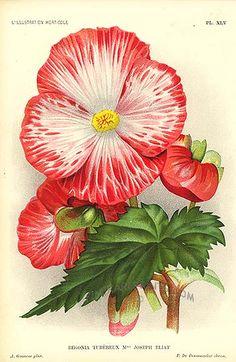 Antique print: picture of Begonia - Begonia tubereux Mme Joseph Eliat - hybrid, worldwide