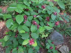 PlantFiles Pictures: Raulston Allspice, Eastern Sweetshrub 'Hartlage Wine' (X Sinocalycalycanthus raulstonii) by Shade Shrubs, Fish Farming, Garden Shrubs, Organic Vegetables, Gardening Supplies, Aphrodite, Vegetable Garden, Seeds, Backyard