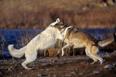 More wolves fighting