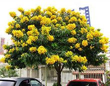 Cassia Tree Cassia is King Here's why you need the Cassia Tree:  Beautiful tree with tons of bright yellow flowers Makes an excellent center piece for a circular driveway Wonderful yard specimen as a large shade tree Blooms in both spring and fall 3-4 ft for $50