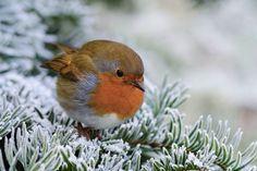Petirrojo en invierno