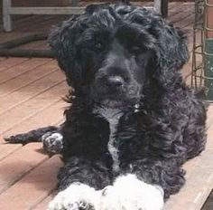 portuguese water dog, rescues, portugese water dog rescue, dog rescue shelters,