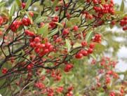Plant an Edible Hedgerow - Edible Gardening - Miracle-Gro