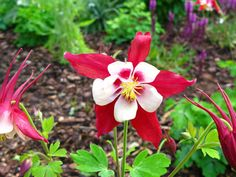 perennial columbine | When planted in full sun I found that each varieties anticipated ...