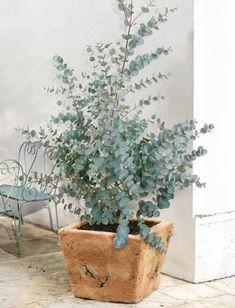 ideas french patio garden potted plants for 2019 Eucalyptus Tree, Eucalyptus Plant Indoor, Eucalyptus Centerpiece, Eucalyptus Shower, Eucalyptus Bouquet, Eucalyptus Wedding, Potted Plants Patio, Indoor Plants, Gardens