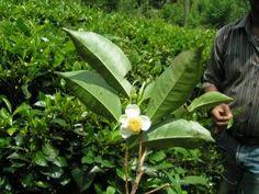 Ceylon tea plant  #SriLanka #AdamTea