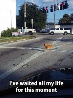 WHY did THE CHICKEN CROSS THE ROAD?!?!?!?!?!?!!?