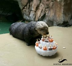 Sea otter Lootas checks out her birthday cake - May 12, 2016