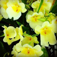 Miltonia Orchids - Pansy Orchids Water Culture Orchids, Miltonia Orchid, Pansies, Rose, Amazing, Plants, Paintings, Flowers, Pink